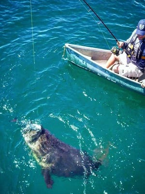 Capt. Ben Chancey, of Chew On This charters and Chew On This YouTube channel, battles a big Goliath grouper from the bow of a canoe Tuesday at Bull Shark Reef off St. Lucie Inlet, a well-known Goliath grouper hangout.