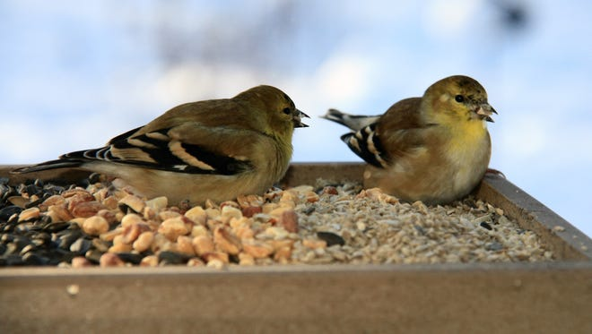 The American goldfinch, a common visitor at bird feeders, molts to its drab winter coloration in the fall.