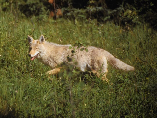 The Vermont Legislature voted to end coyote hunting competitions as part of a fish and wildlife bill.