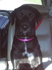 Lacey is a 7-month-old spayed female Labrador retriever.