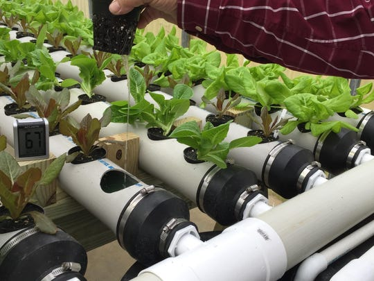 Water and minerals recirculate through this hydroponic