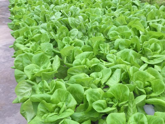 A greenhouse holds 1,800 heads of lettuce for use in