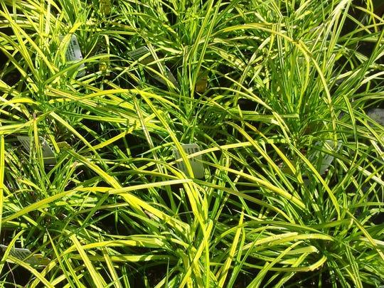 Carex 'Bowles Golden'