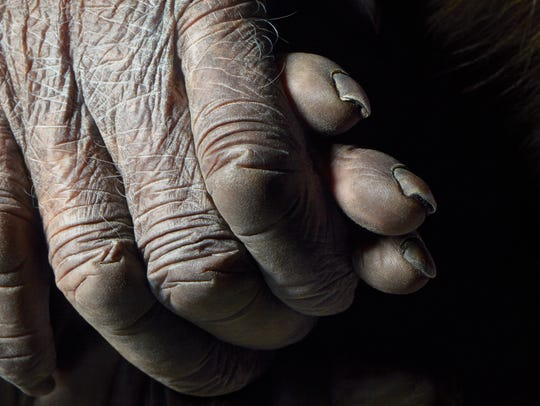Chimpanzee hands, from 'Endangered.'