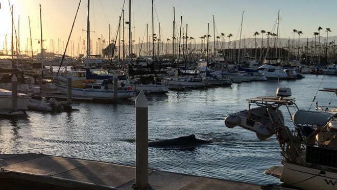 The whale can be seen Saturday swimming among the boats at Ventura Harbor. The spectacle drew hundreds of onlookers.