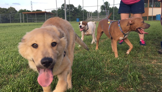 Channing, front, Rumor, right, and Lemoncake, back, are all dogs fostered by or adopted through Saving the Animals Together.