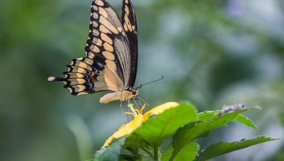 A giant swallowtail drinks a flower's nectar inside