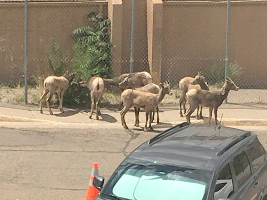 These sheep were seen wandering the parking lot of