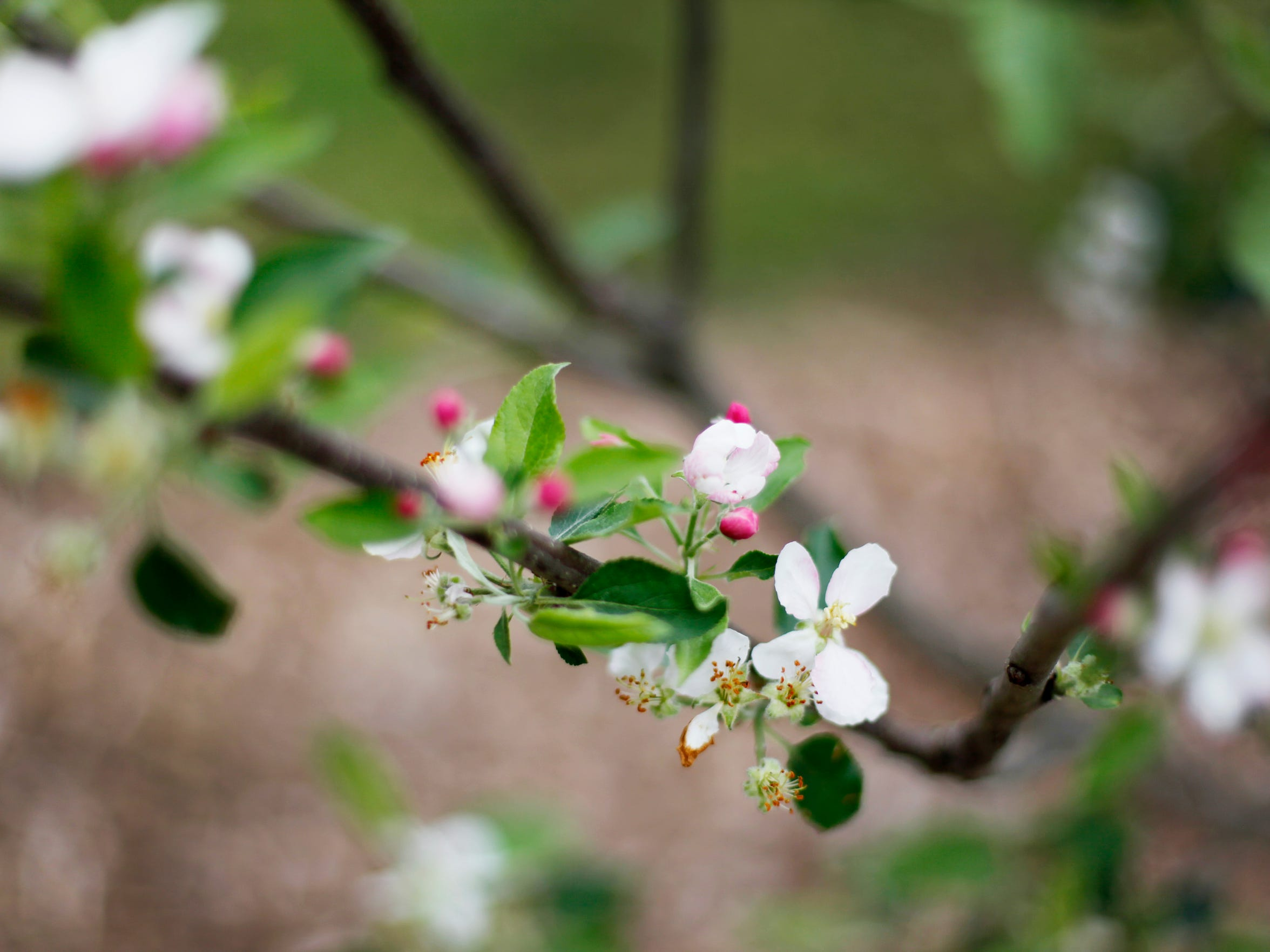 Pink blossoms on a young apple tree at Congregation Beth Israel April 20, 2017.