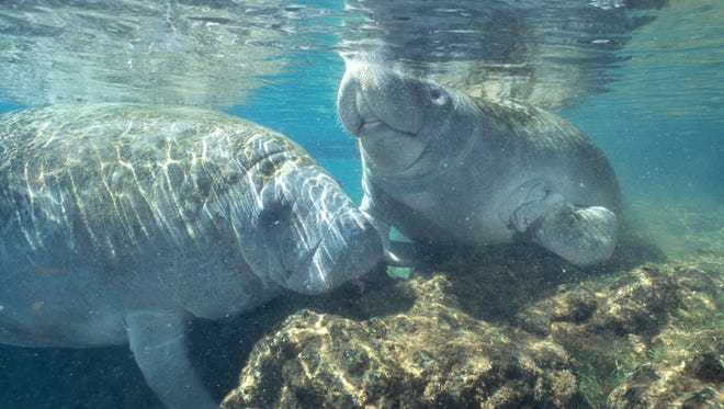 Guests at Homosassa Springs Wildlife State Park might spot Rosie and Electra, two of the park?s resident manatees.