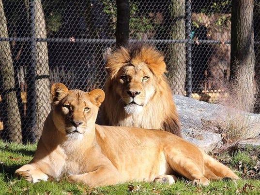 635525273745936188-lions.jpg