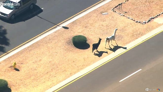 Llamas were on the loose in Sun City.
