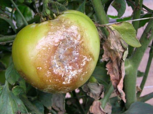tomato-blight.JPG