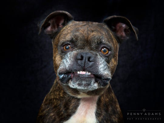 Pongo of the Metro Animal Care and Control. Portrait by Penny Adams, who volunteers taking portraits of shelter animals at Williamson County Animal Center in hopes that the portrait will encourage a loving home for the animal.