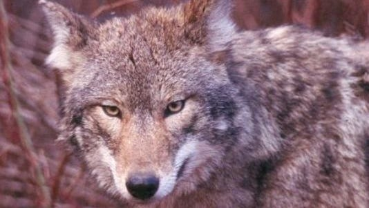 File: Undated photo of a coyote taken in North Jersey.