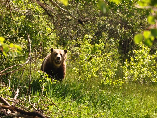 An adult male at a grizzly bear trap site earlier this year.