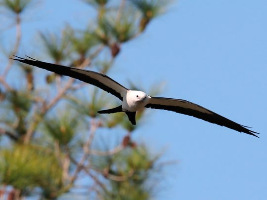 Swallow-tailed kites rarely flap their large wings while flying, but they rotate their tails almost continually, often to nearly 90 degrees.