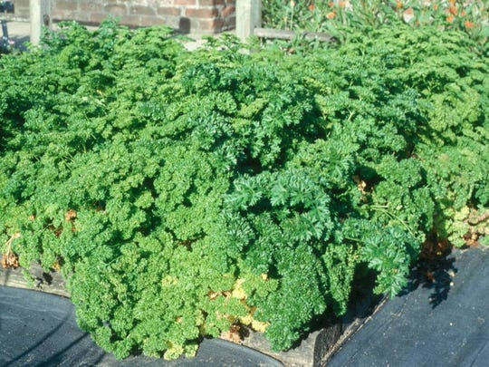 Curly parsley is popular for its ornamental attractiveness as well as for culinary use.