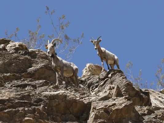 636668464701835164-Bighon-Institute-ewe-and-lamb.jpg