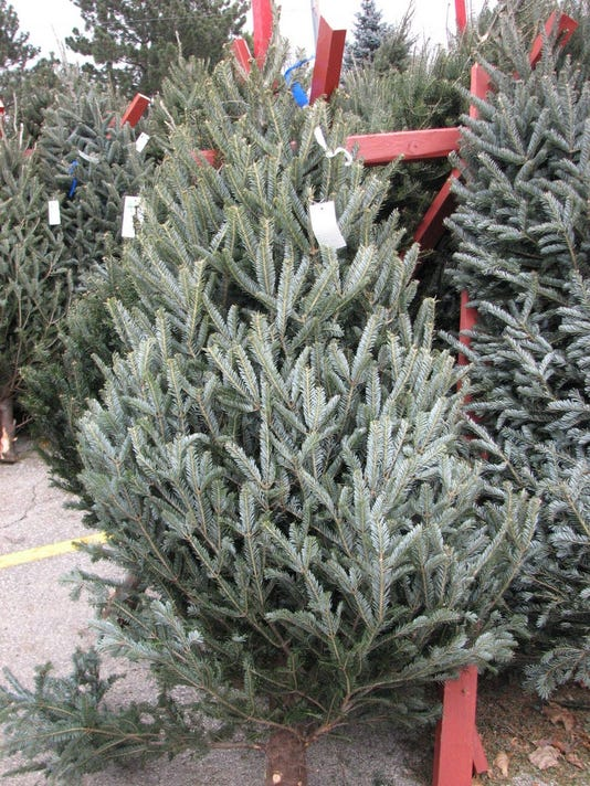 636162021369747973-12-05-2016-Balsam-fir-Christmas-tree-sp.jpg