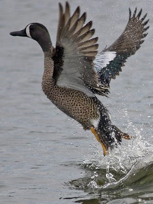A Blue-winged teal takes off.