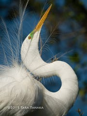 This three-foot tall mounted great egret photo by Tara Tanaka (without the watermark) is just one of the prizes the winner of Wild Birds Unlimited's raffle for St. Francis Wildlife can choose.