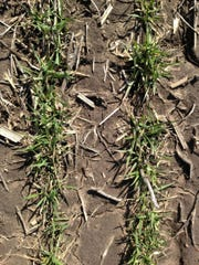 Winter wheat greening up after winter.