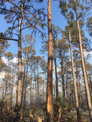 Lightning struck a tree and caused a 56-acre wildfire Wednesday in St. Sebastian River Preserve State Park.