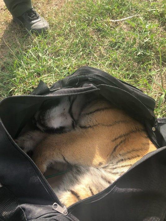 Tiger in duffel bag