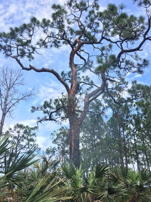 Lightning struck a tree and caused a 0.3 acre wildfire July 9, 2018 in Sebastian.