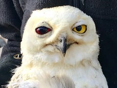 After a dramatic Louisville freeway rescue, this injured snowy owl is fighting for its life
