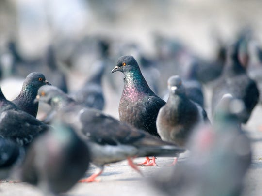 In large numbers, pigeons can carry diseases. Their waste is acidic and can damage paint on vehicles, and they give off an unpleasant odor.