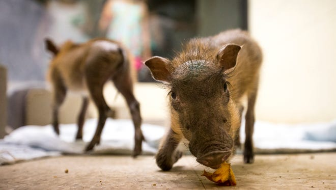 A four-week-old warthog male nibbles on some fruit in the nursery at Wildlife World Zoo & Aquarium in Litchfield Park.