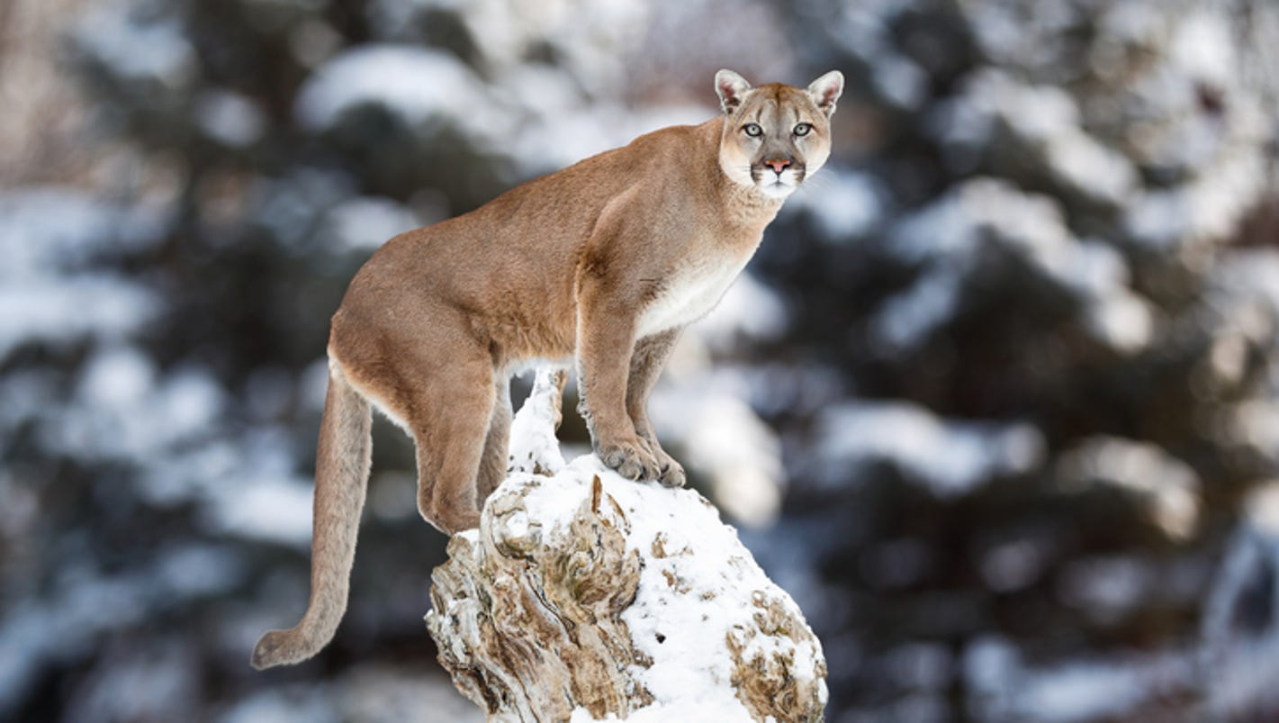 how to call in a mountain lion
