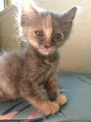 Belle is a lovely 10-week-old kitten. She and her siblings we're found inside of a horse trailer. She's very calm who's easily entertained. Email Spay Neuter and Protect at Snap.spayneuterandprotect@gmail.com to adopt.