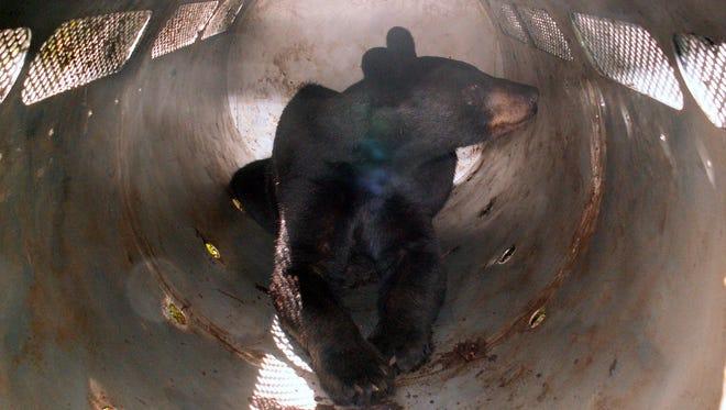 A bear in a trap.