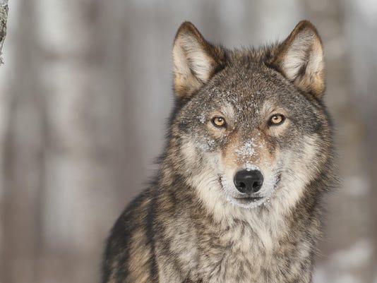 stock wolf