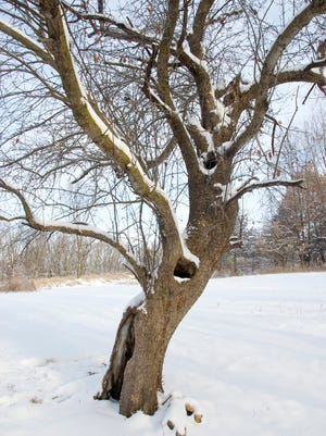 This old apple tree has a hollow core, but plenty of heart.