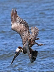 Having zeroed in on his target, a brown pelican crashes into the water to stun and then scoop his prey.