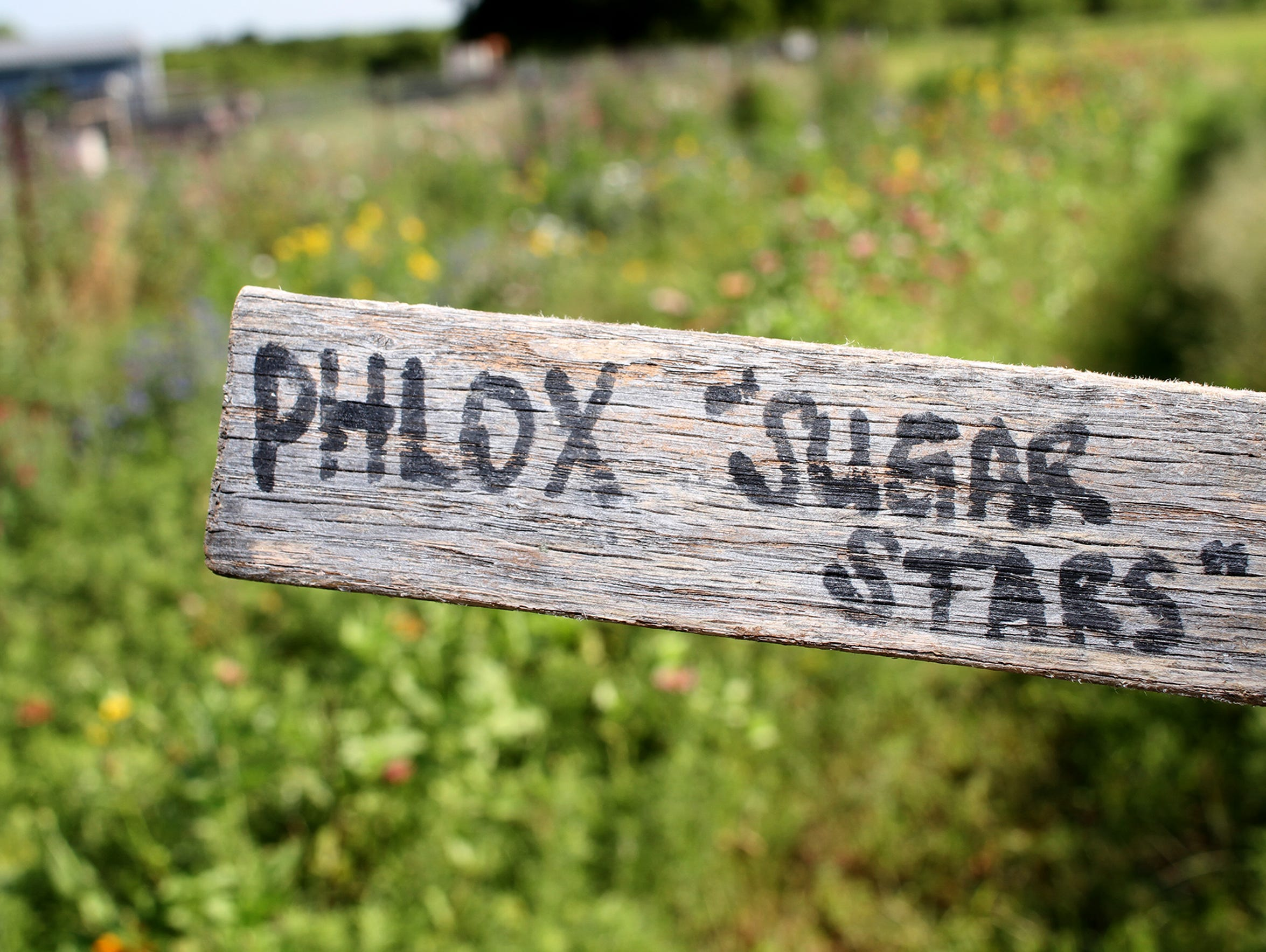 Phlox, or sugar stars, is one of the varieties of flowers