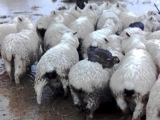 CORRECTION New Zealand Rabbits Surf Sheep