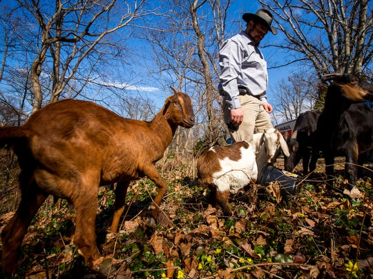 Mike Woeste, of Milford and founder of Permaculture Guru, gives his seven goats a treat at Spring Grove Cemetery Friday, February 19, 2016. The goats are apart of an experiment to see how well grazing animals can control invasive plants. They will remain on-site until they consume one acre of ground vegetation, which is estimated to take one month. Each goat consumes about four pounds of vegetation everyday.