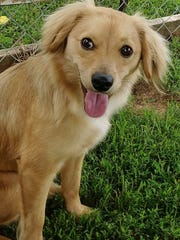 Penny is a 9-month-old, 15-pound, female spaniel/chihuahua