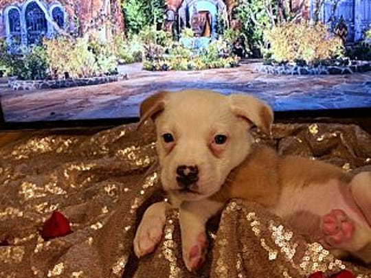 Ben is a tan and white cattle dog mix puppy available for adoption at Bounce Animal Rescue.