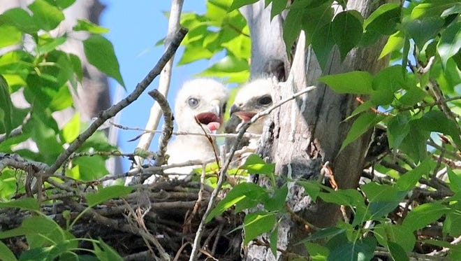 Two red-tailed hawk chicks pant to cool off in the afternoon sun.