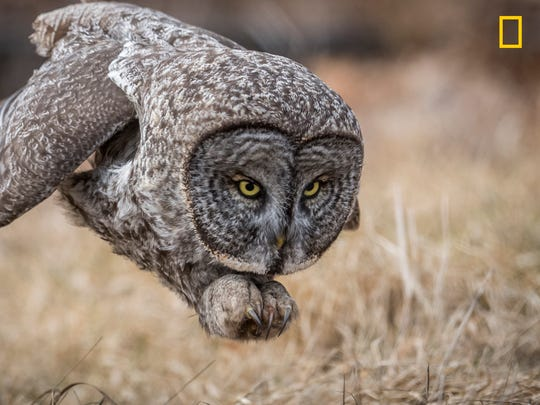 A great gray owl hunting rodents in a field in New Hampshire. This bird was a rare visitor to this area and was worth the 7 1/2 hour drive to see it. The owl was not baited or called, and this photo was taken during a natural hunt.