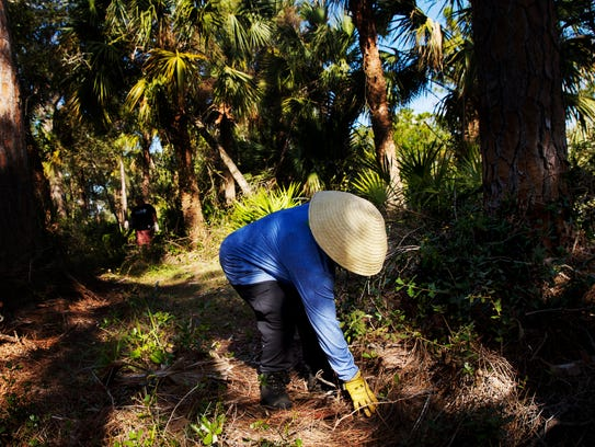Sandra Bates, an employee of Lee County Parks and Recreation removes debris from one of the trails at the Hickey Creek Mitigation Park off of State Road 80 on Tuesday 12/5/2017. The park is mostly open after Hurricane Irma plowed through the area.