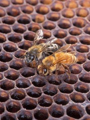An Africanized honey bee (left) and a European honey