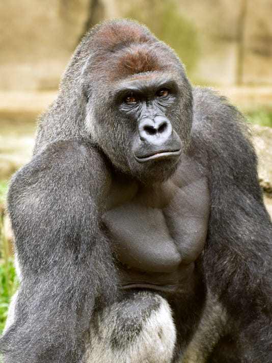 June 20, 2015: Cincinnati Zoo and Botanical Garden, Gorilla, Jeff McCurry