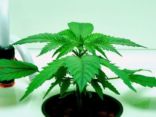 A bright green marijuana plant grows inside a Leaf
